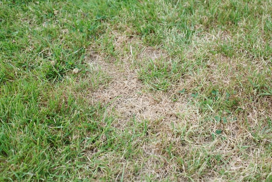 Fertilizing unhealthy grass with brown dead spots due to poor nutrition in Carmel, Indiana